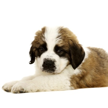 Photo Of St Bernard Puppy