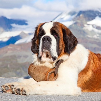 Photo Of St Bernard