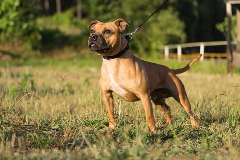 Staffordshire Bull Terrier Large Photo