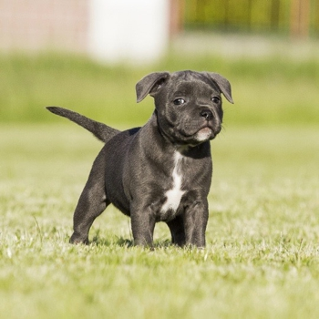 Photo of Staffordshire Bull Terrier puppy