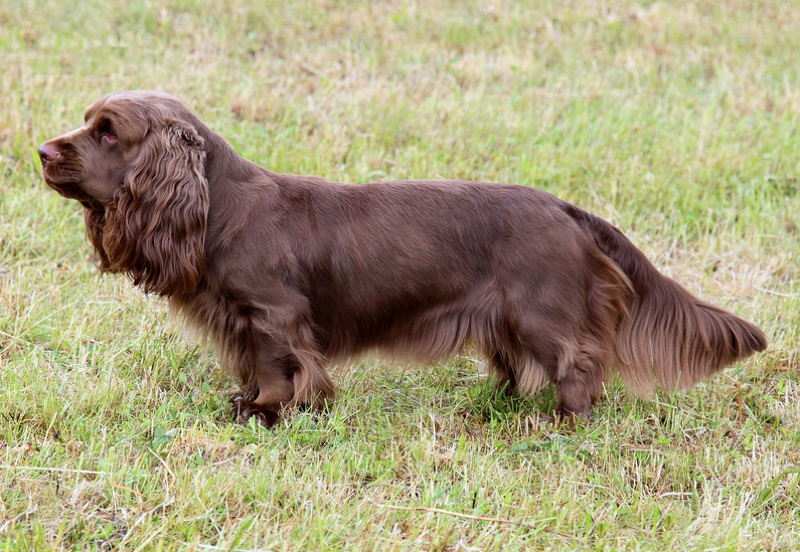 Sussex Spaniel Large Photo