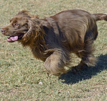 Photo of adult Sussex Spaniel