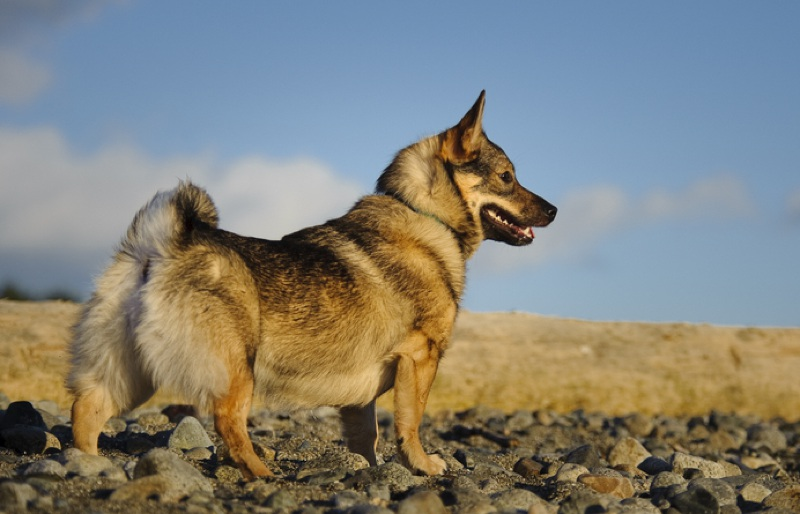 Swedish Vallhund Large Photo