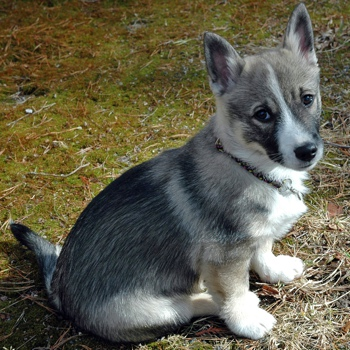 Photo of Swedish Vallhund puppy