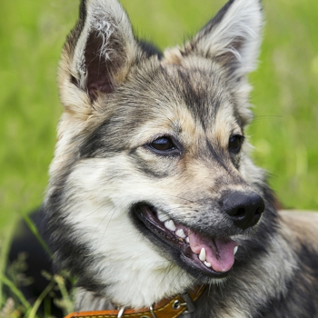 Photo of adult Swedish Vallhund