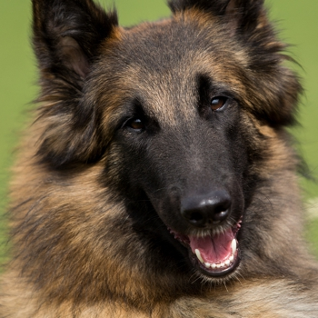 Photo Of Adult Tervuren Dog