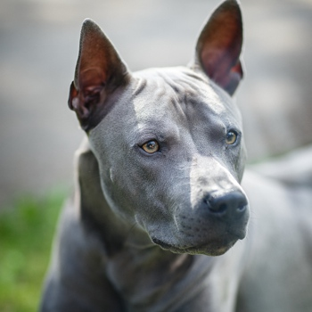 Photo of adult Thai Ridgeback