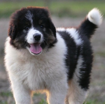 Photo of Tornjak puppy