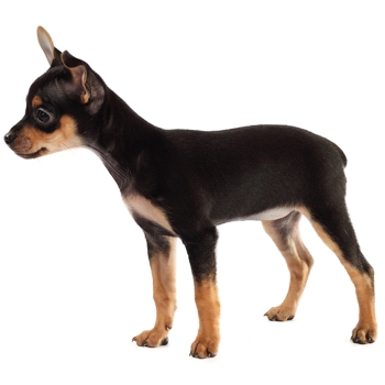 Photo of Toy Manchester Terrier puppy