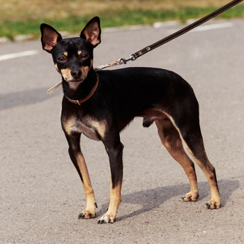 Photo of adult Toy Manchester Terrier