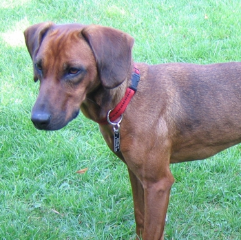 Photo of adult Tyrolean Hound