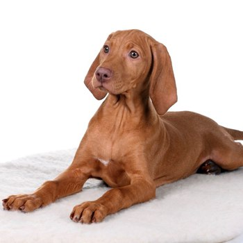 Photo of Vizsla puppy
