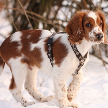 Photo of Welsh Springer Spaniel puppy