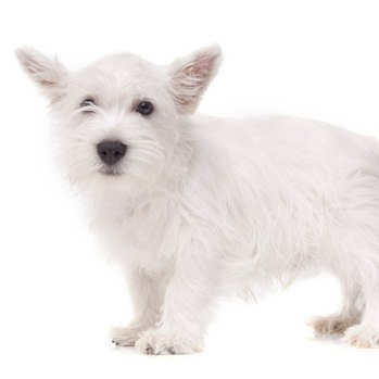 Photo of West Highland White Terrier puppy