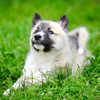 Photo of West Siberian Laika puppy