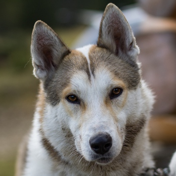 Photo of adult West Siberian Laika