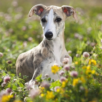 Photo of adult Whippet