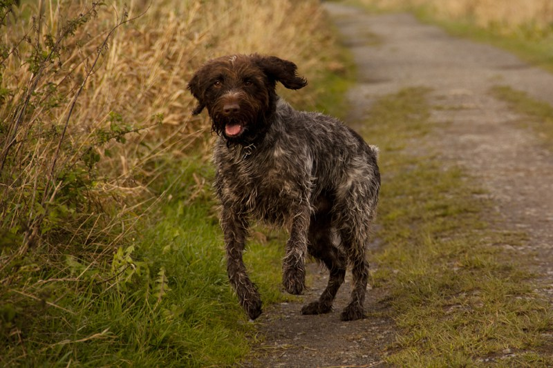 Wirehaired Pointing Griffon Large Photo