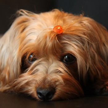 Photo of adult Yorkie-Poo