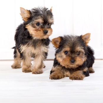 Photo of Yorkshire Terrier puppy