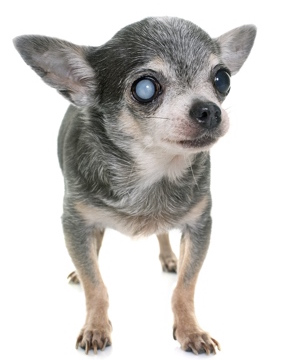 Chihuahua with Cataract