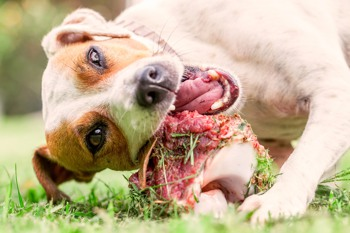 Jack Russell Terrier chewing a raw meat bone