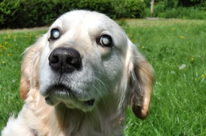Labrador Retriever with Cataracts