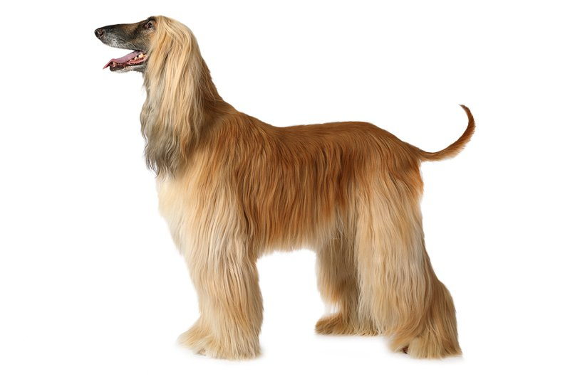Afghan Hound Large Photo