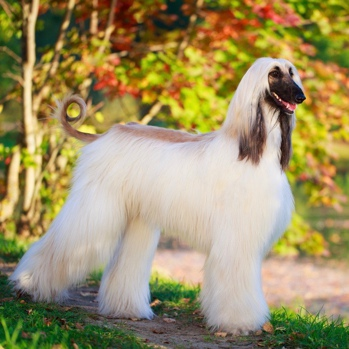 Photo of adult Afghan Hound