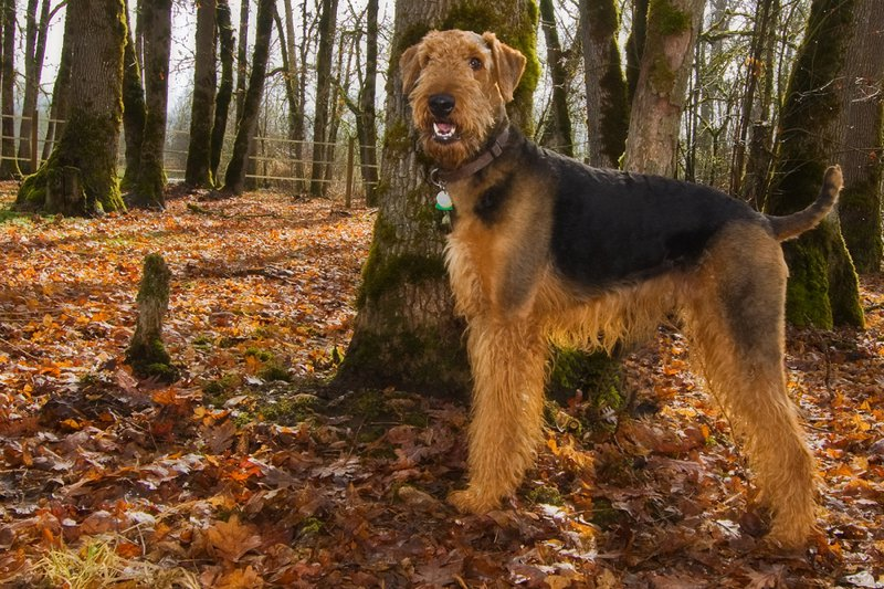 Airedale Terrier Large Photo