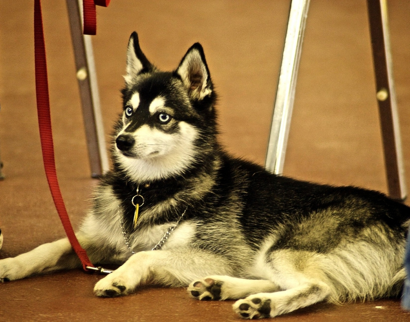 Alaskan Klee Kai Large Photo