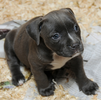 Photo of American Bully puppy