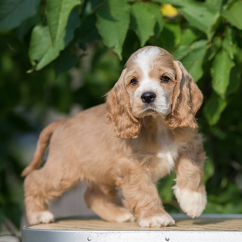 Photo of American Cocker Spaniel puppy