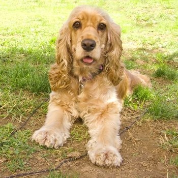 Photo of adult American Cocker Spaniel