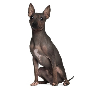 Photo of adult American Hairless Terrier