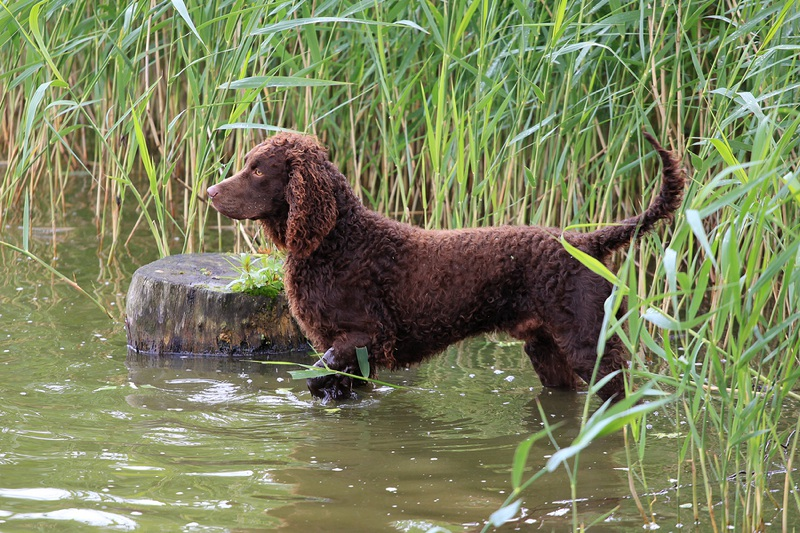 American Water Spaniel Large Photo