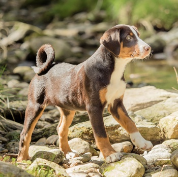 Appenzeller Sennenhund Breed Information Characteristics