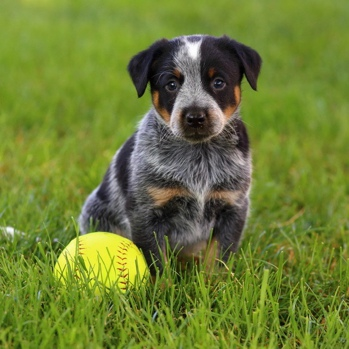 Photo of Australian Cattle Dog puppy