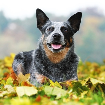 Photo of adult Australian Cattle Dog