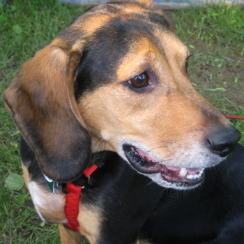 Photo of adult Bagle Hound
