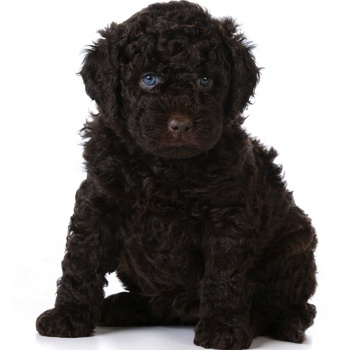 Photo of Barbet puppy