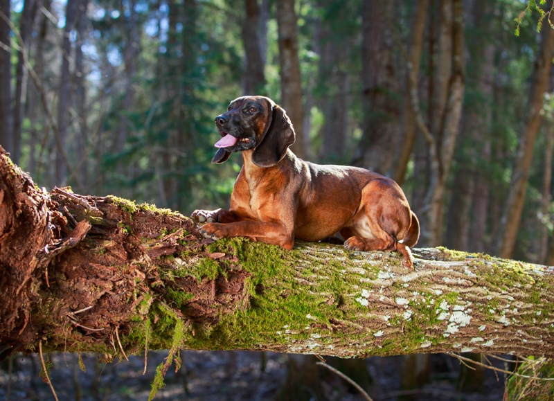 Bavarian Mountain Hound Large Photo