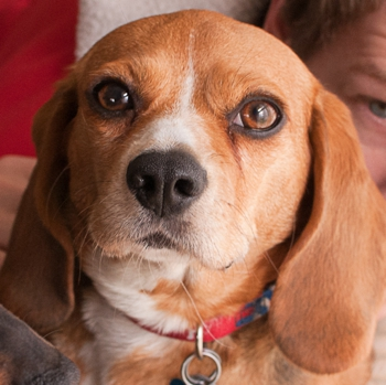 Photo of adult Beaglier