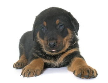 Photo of Beauceron puppy