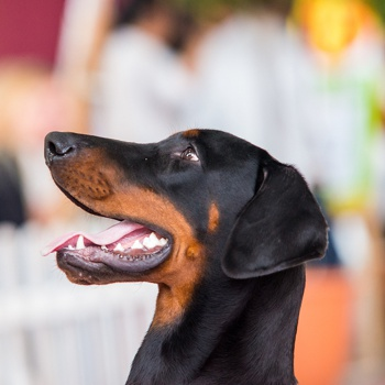 Photo of adult Beauceron