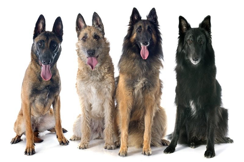 Belgian Shepherd Large Photo