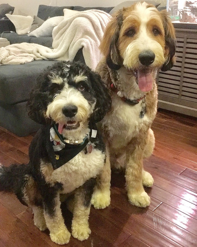 Bernedoodle Breed Information Characteristics Heath
