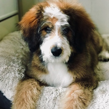 Photo of adult Bernedoodle