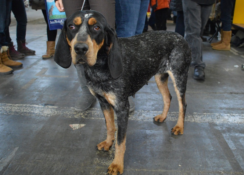 Bluetick Coonhound Large Photo