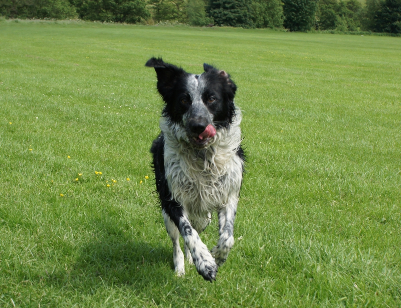 Border Collie Spaniel Large Photo